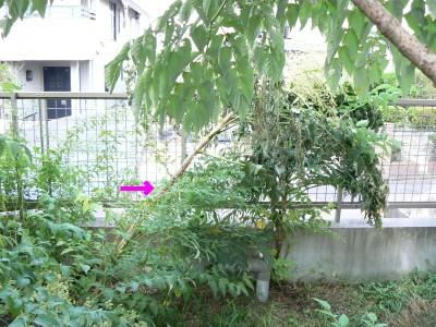 倒れたタラの木 9.20.JPG