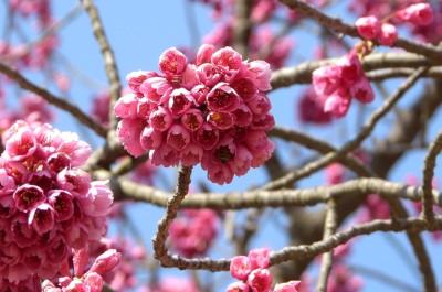 寒緋桜 4.6.JPG