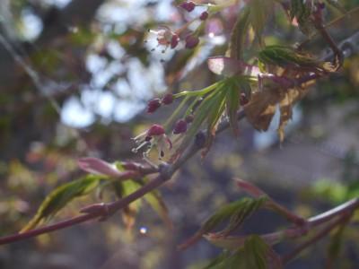 カエデの花 5.8.JPG