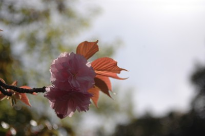 八重桜2 4.26.JPG