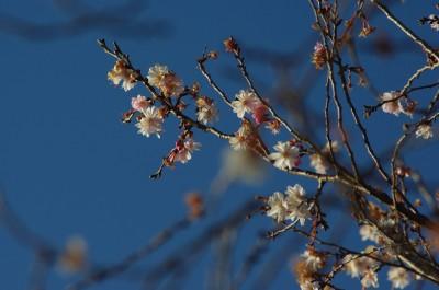 四季桜1 1.12.JPG