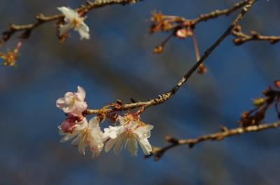 四季桜2 1.12.JPG