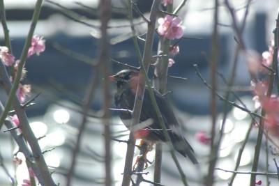 梅にムクドリ 3.11.JPG