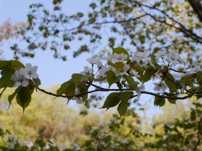 葉桜1 4.16.JPG