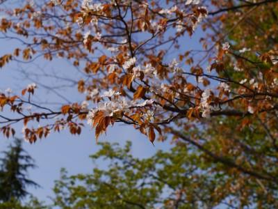 葉桜2 4.16.JPG