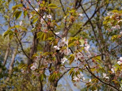 葉桜3 4.16.JPG