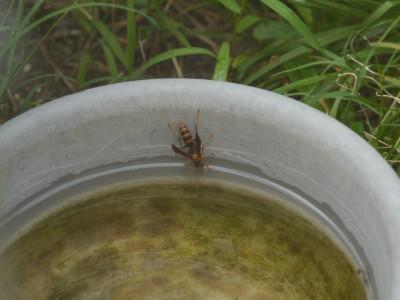 蜂の水飲み場 7.26.JPG