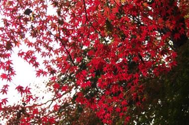 紅葉3 11.29.jpg