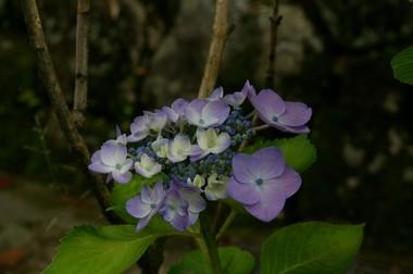 紫陽花5 6.11.JPG