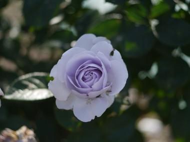 薔薇 6.14.JPG